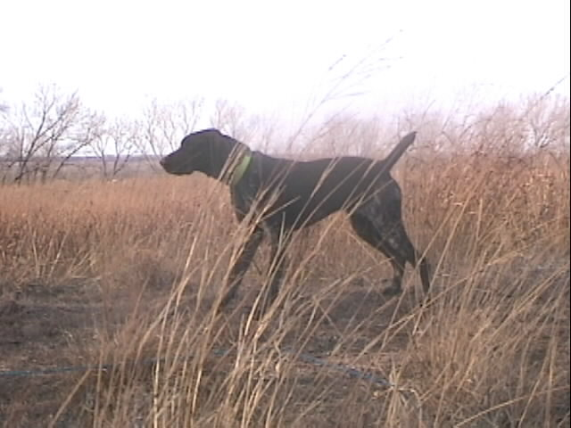Annie, our started German Shorthaired Pointer, at 2 years of age