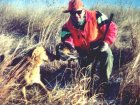 A picture of my Chesapeake Bay Retriever, Bones, retrieving a Kansas pheasant to my hand.